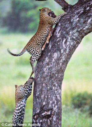 Photographer Marlon du Toit shot the rare sighting in Singita Sabi Sand, South Africa