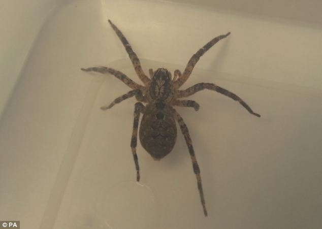 Beverley Cooper found this Indian Wolf Spider in her fridge. Experts believe the female spider is likely to be pregnant and travelled more than 6,000 miles from India