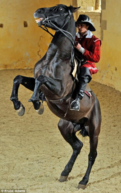The levade was first taught at the beginning of the 20th century, asking the horse to hold a position approximately 30-35 degrees from the ground