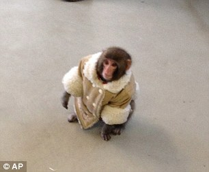Wrapped up warm: Darwin the macaque had his coat on for his shopping trip