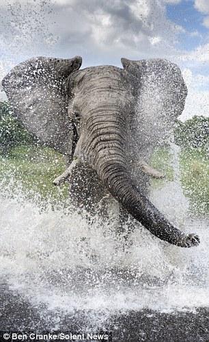 Making a splash: The elephants marks its territory