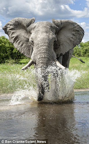 Stand back! Photographer Ben Cranke incurred the displeasure of this elephant at Savuti Game Reserve in Botswana