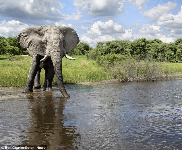 Quite an experience: The pair got within 30ft of each other during the confrontation. After the elephant decided to leave him alone, Mr Cranke returned to his camp site to have a beer and recover from his ordeal
