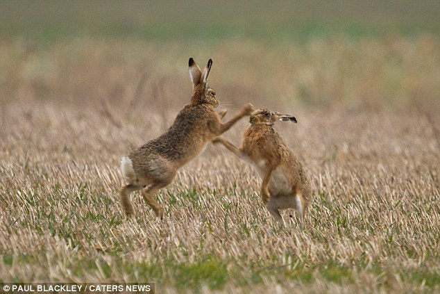Greener: These March hares found a snowless patch to play on the Isle of Wight in a battle for mating rights