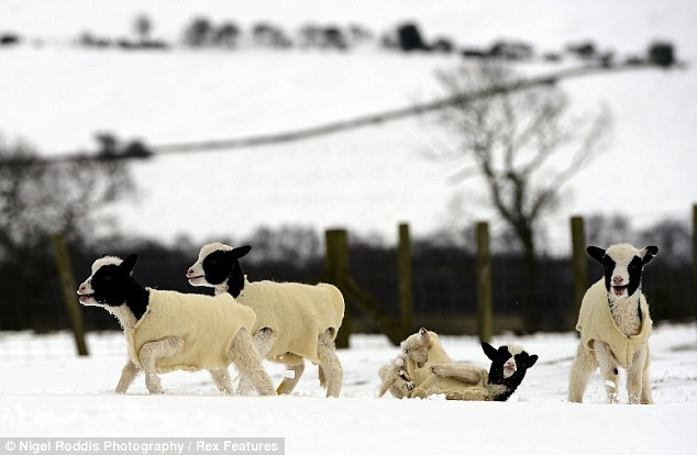 Outer layer: Hall Hill farm in Lanchester, County Durham, has invested in hundreds of wool coats from New Zealand to keep their lambs warms during the prolonged snow