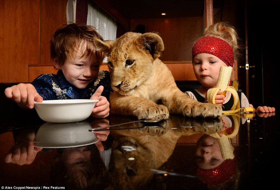 I like milk too! Zimbi the lion cub peers into Braxton West-Smith's cereal bowl as they have breakfast with Pesaus West in their mobile home. The young trio are part of the family-run Stardust Circus in Australia