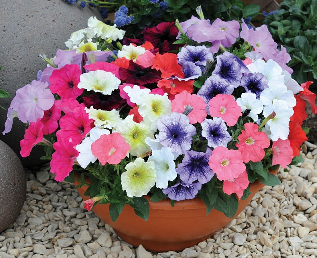 Bright: Petunia plants are one of the most popular summer plants but it is often wiped out by the first winter frosts