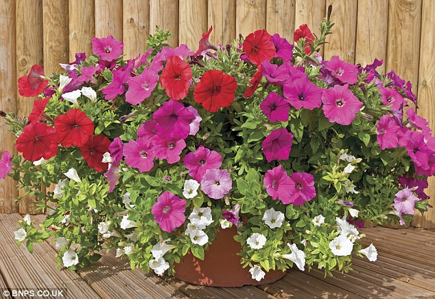 Colourful: Botanists have produced this petunia plant which is so hardy it can withstand winter
