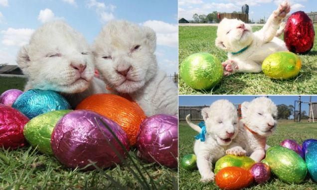 Newborn white lions play with Easter eggs at the Johannesburg Lion Park in Johannesburg, South Africa