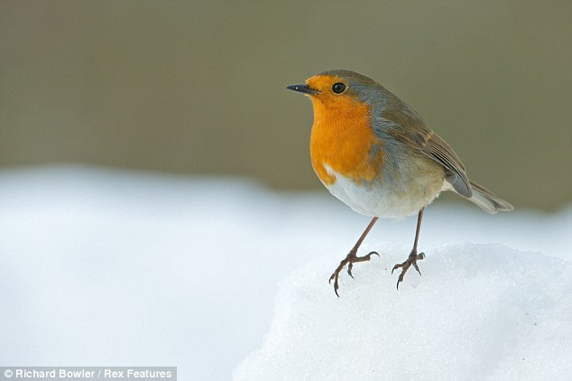 Festive: This robin looks like it should have been snapped for a Christmas card rather than on Easter Sunday in Corwen, North Wales