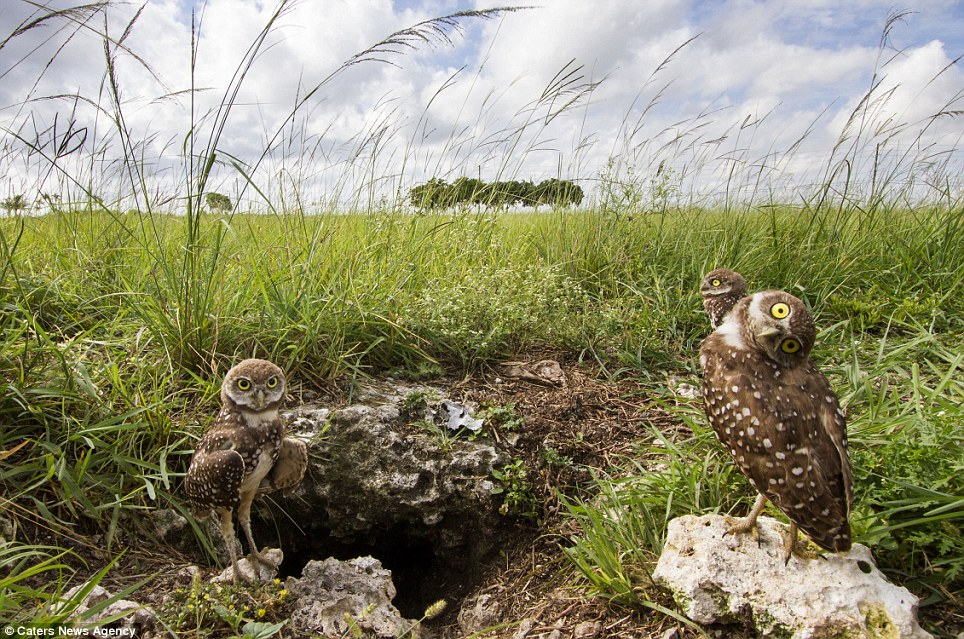 The wise creatures can be seen curiously gazing out over the grassland from their tunnelled habitat in Southern Florida