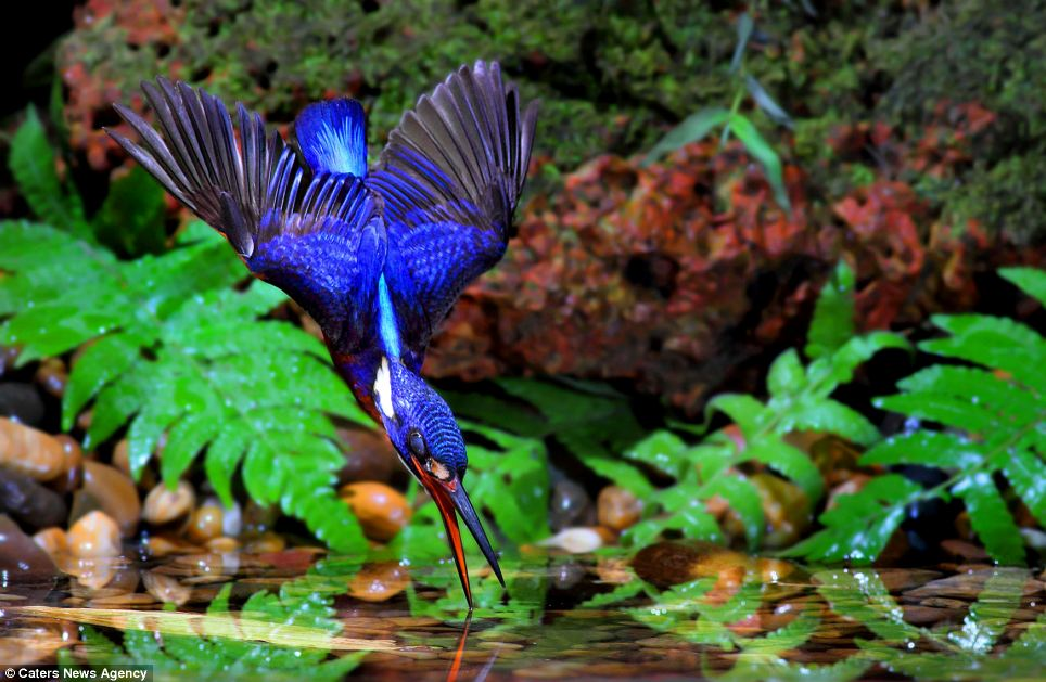The birds, which are pictured diving into water to hunt, are so rare that many experts are awestruck that an amateur photographer managed to take the pictures at all