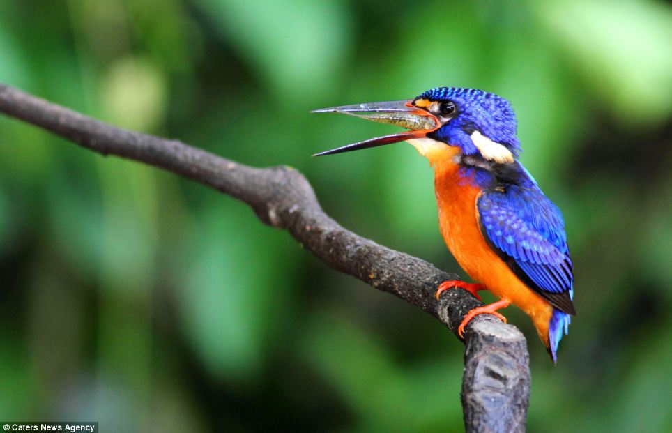 Phiphat Suwanmon, an amateur Thai photographer, spent two years photographing the blue-eared kingfisher in an attempt to document its extraordinary feeding habits