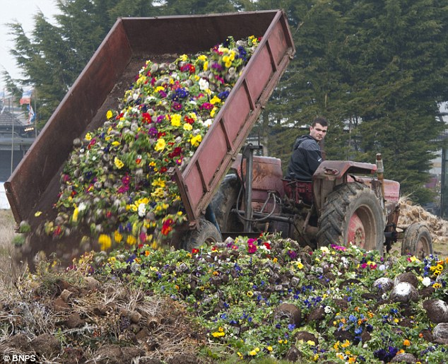 Ditched: A truckload of spring flowers are dumped by the Blue Ribbon nursery near Chichester, Hampshire, because the weather has caused a huge slump in demand
