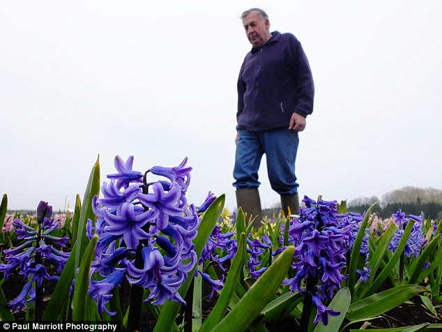 Finally flowering: Mr Shipp has been growing hyacinths since the end of World War Two and has 190 varieties on his farm