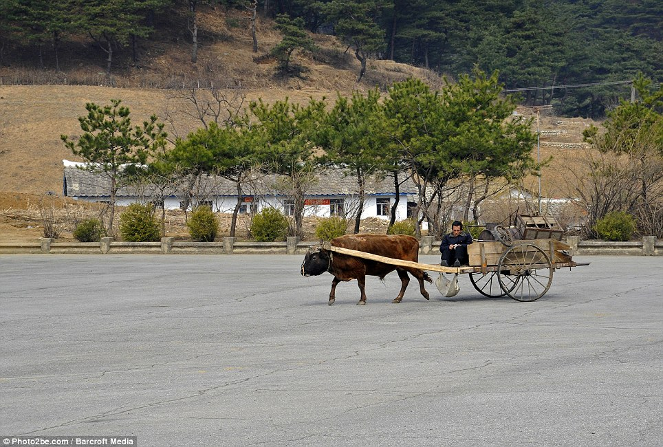 Agricultural: A farmer pictured with an ox wagon in between Pyongyang and the DMZ in North Korea. Swedish photographer Bjorn Bergman spent nine days last year capturing the life of locals
