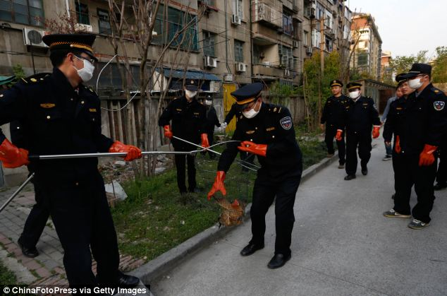 Urban management officers wear masks as they catch chickens close to a block of houses yesterday
