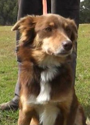 Hero: Boydy the dog, who stayed with his owner Herbert Schutz for four days after he crashed his car