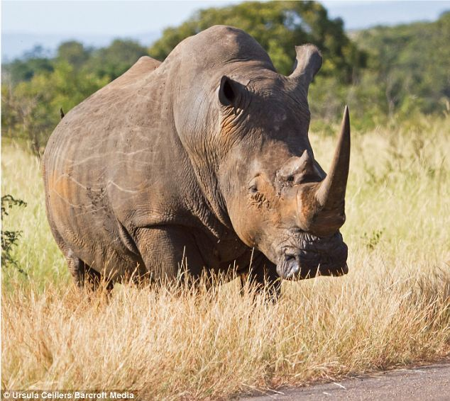 This tricky customer and two others caused quite a stir in South Africa's Kruger National Park, blocking a road and providing a rare wildlife spectacle
