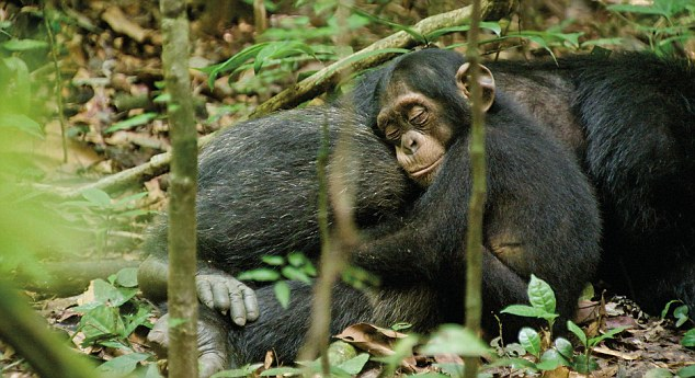 Cuddles with daddy: Oscar sleeps inside the protective arms of his adopted father Freddy, as captured in Disney's new documentary, Chimpanzee