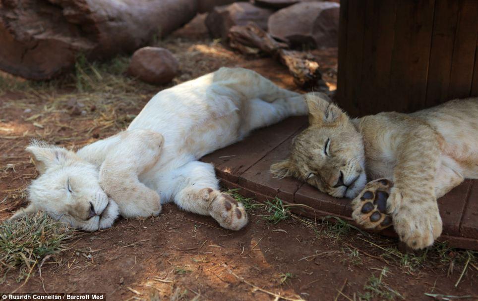 Sleep hard, play hard: Two lion cubs relax at the Akwaaba Lodge in Rustenburg
