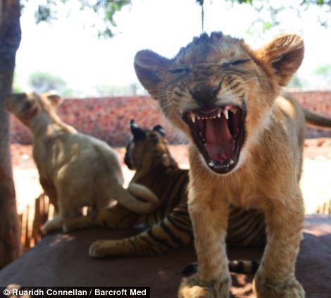 A lion cub yawns