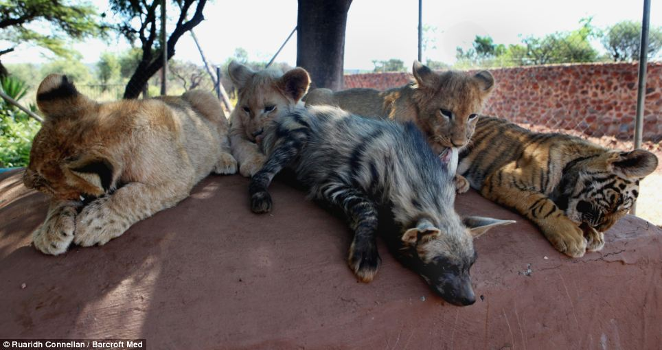 Mischievous: The eldest - Milika the hyena, six months - is the most mischievous in the motley crew