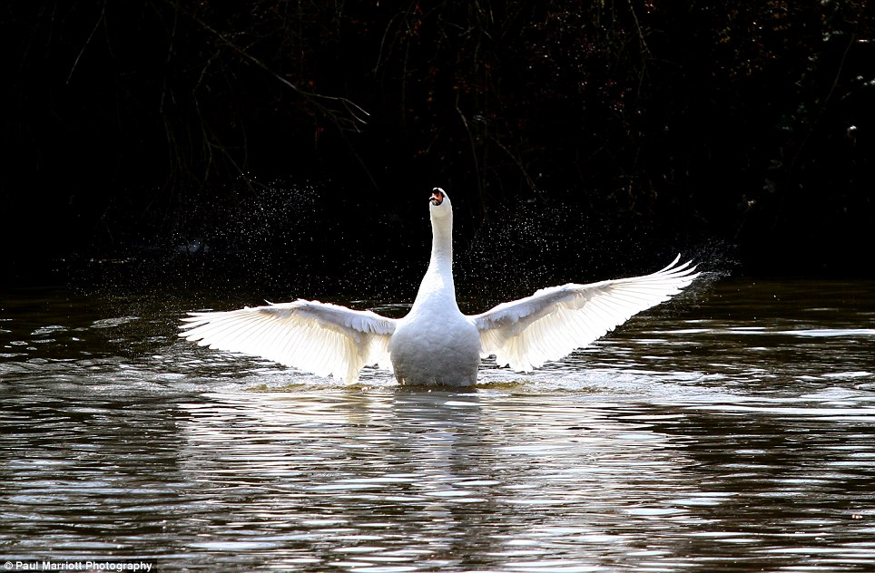 A swan stretches out its wings on the River Nene in Peterborough, Cambridgeshire today