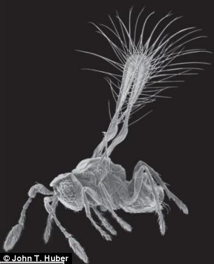 The world's smallest known winged insect, Kikiki huna, which has a body length of only 155 micrometres