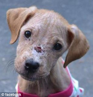Xena, the rescue puppy, pictured recovering from her wounds. She was neglected and starved