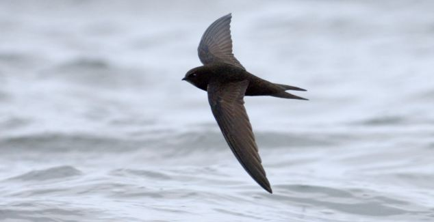 Swifts have super-long wings for gliding and high-speed flight