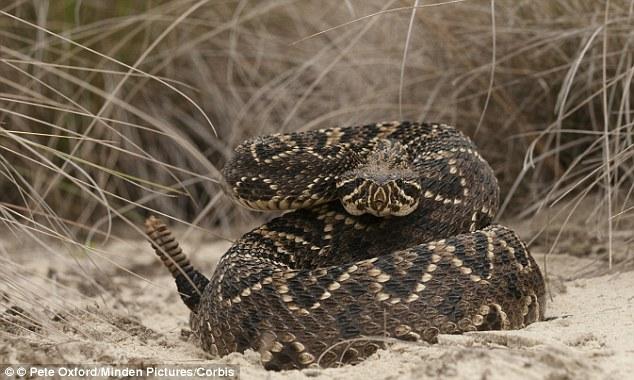 Anti-venom: Doctors at the Jupiter Medical Center had anti-venom for the Eastern Diamondback Rattlesnake, pictured