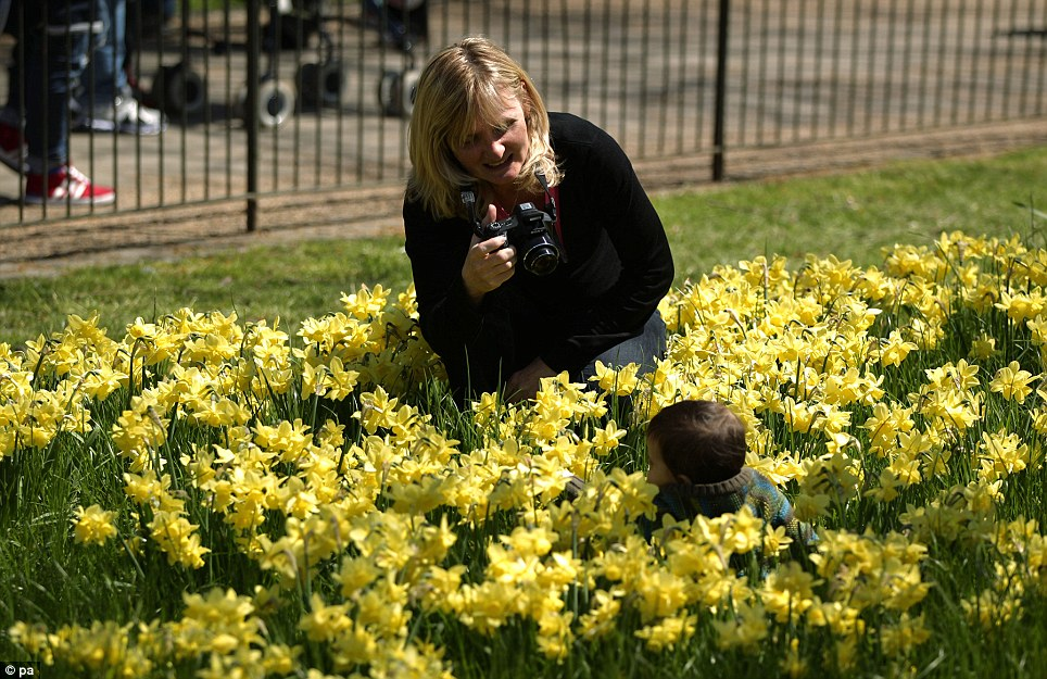 Spring scene: A woman photographs her child sitting in the daffodils in St James's Park, central London