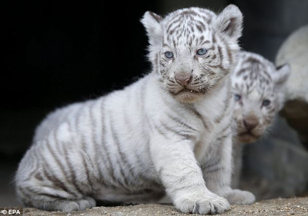Cute: Several hundred white tigers have been bred in zoos and animal parks around the world but many conservationists say these efforts should be focused on less inbred tiger varieties, which are also threatened