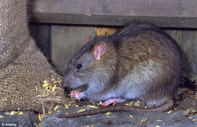 Rodents: Tourists who bought what they thought was mutton from markets in Shanghai may actually have been sold rat meat