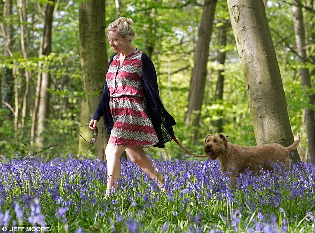 Buds of May: A walker and her dog take a stroll through spring bluebells in Wanstead Park, East London