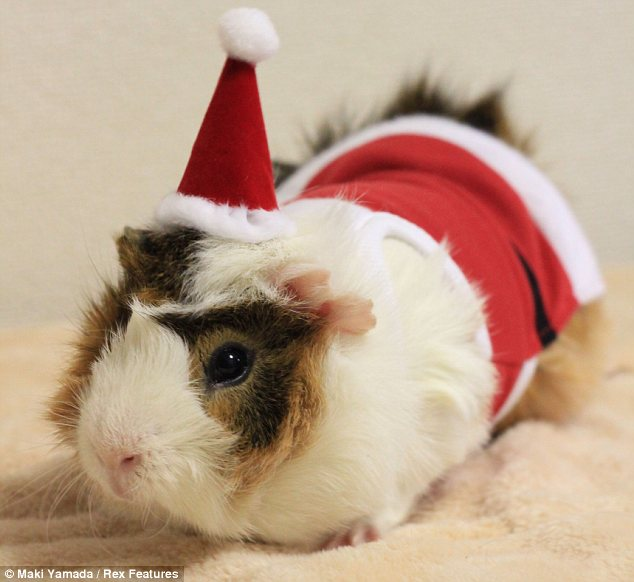 Yuletide cheer: Now guinea pigs can get into the festive spirit too