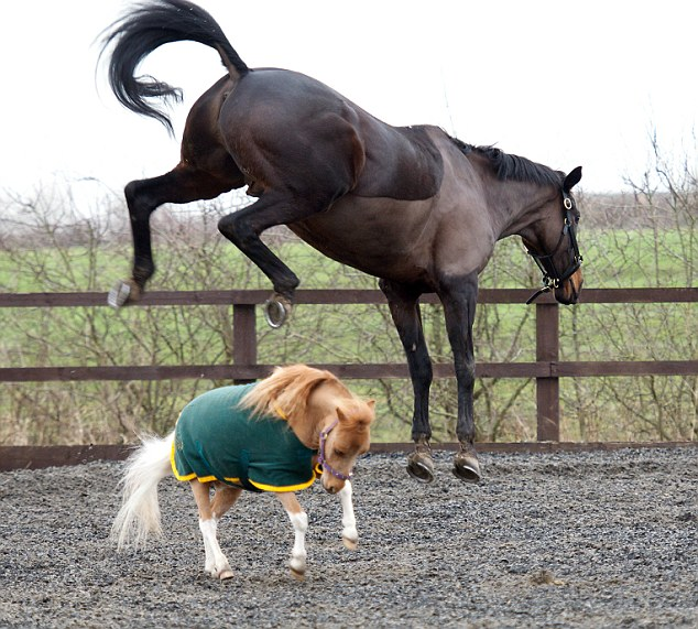 Tiny: Standing at just 28 inches tall, the chestnut and white American miniature is dwarfed by other horses
