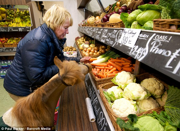 Loyal: Mr P follows owner Katy Smith, 52, everywhere. He is pictured even helping out Mrs Smith by helping with the shopping