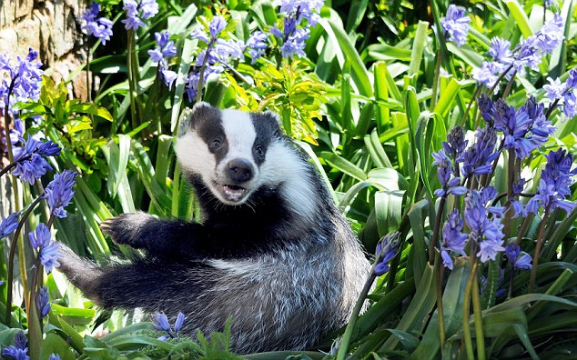 Relaxing: Goldie the badger cub enjoys being  among the bluebells at Secret World animal rescue centre in East Huntspill today