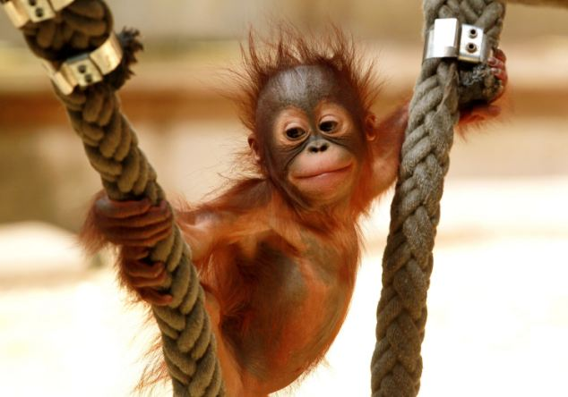 If you were to drop an infant orangutan in water, it would sink to the bottom