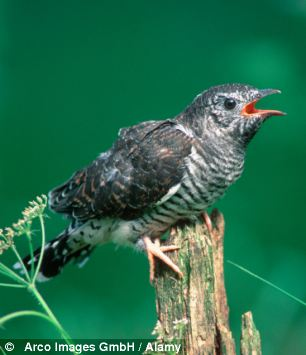 The Common Cuckoo was the first bird on the programme