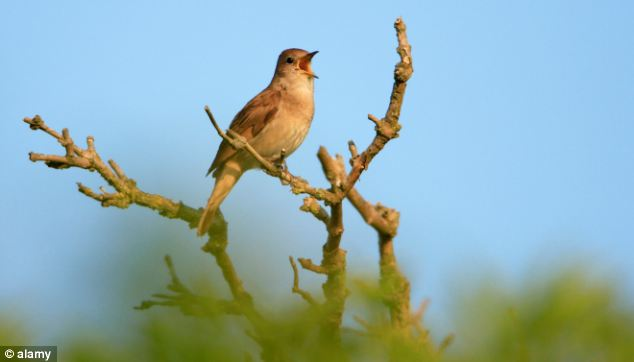 Birdsong: The nightingale (pictured) was one of the first birds to be featured on Tweet of the Day