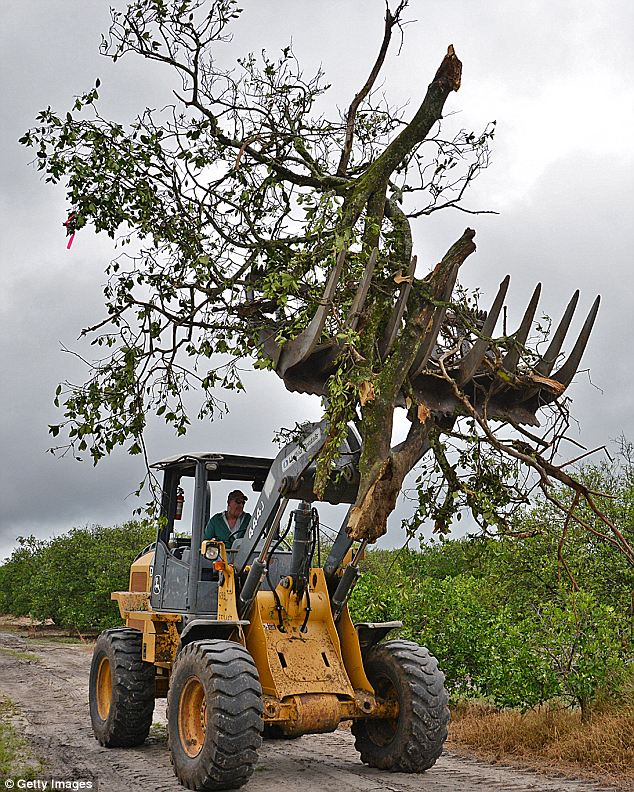 Epidemic: A tractor carries an infected tree to be burned. The USDA's estimate for 2013's orange crop has been downgraded every month since January