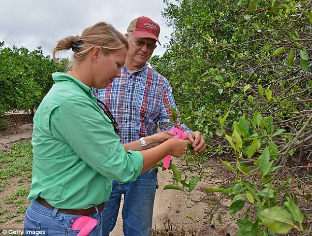 Widespread: A grower tags an infected tree. The disease has caused massive damage throughout Florida's citrus groves