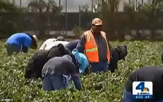 farm workers fired