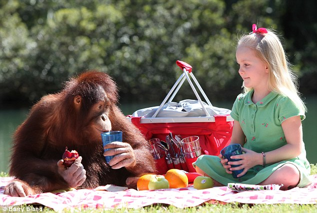 Growing lad: At 4st 9lb, the orangutan is already able to pick up a fully-grown human, and his weight is expected to double within 18 months