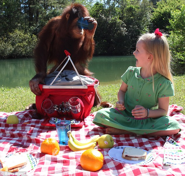 Monkey business: Emily giggles as her Orangutan chum larks around with a cup