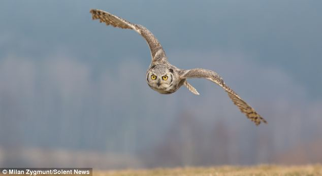 The male great horned owl is smaller than the female