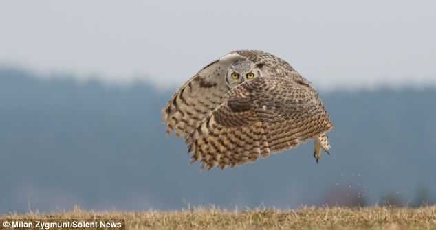 This majestic owl looks poised to go in for the kill in Manitoba, Canada